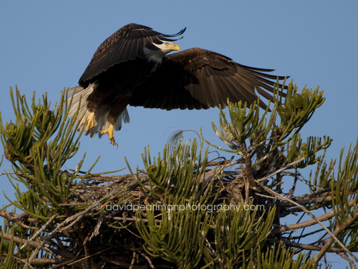 Bald Eagle Returning To Nest