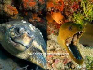 Loggerhead Turtle    Green Moray Eel